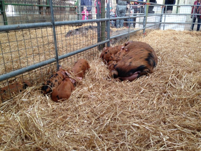 pigs, piglets, pigs the earth trust