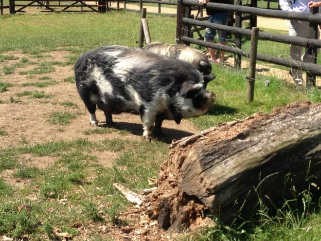 pigs, millets, farm park, kids, free