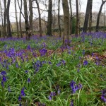 bluebells, bluebell walks, best bluebell walks in oxfordshire, best bluebell walks in berkshire, where to see bluebells oxfordshire, where to see bluebells berkshire