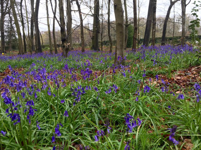 bluebells, bluebell walks, best bluebell walks in oxfordshire, best bluebell walks in berkshire, where to see bluebells oxfordshire, where to see bluebells berkshire