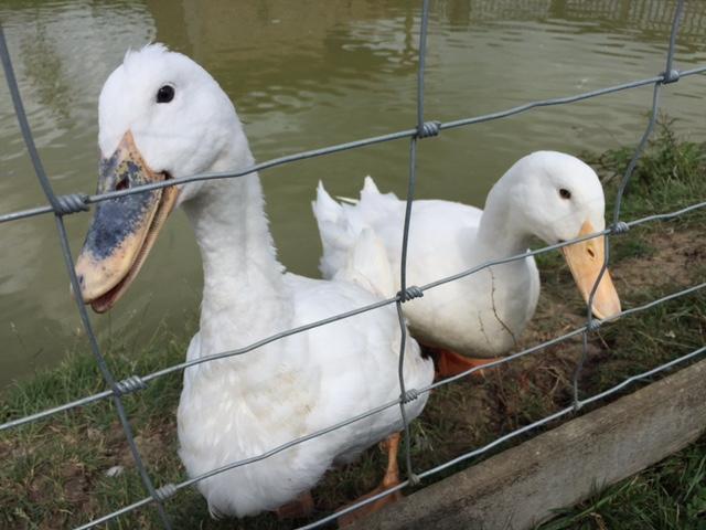 duck, green dragon eco, kids, buckinghamshire
