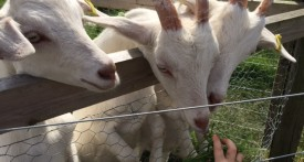 green dragon eco farm, buckingham, bicester, kids, goats
