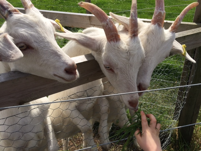 green dragon eco farm, buckingham, bicester, kids, goats