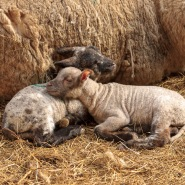 earth trust lambing weekends, lamb, newborn, oxfordshire