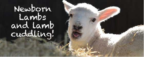 lamb feeding, hold a lamb, lambing days, farms with lambs