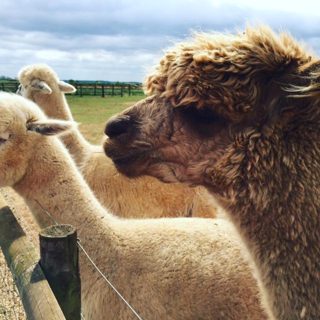fairytale farm llama
