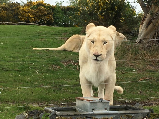 west midland safari park review, safari parks kids, wild cats