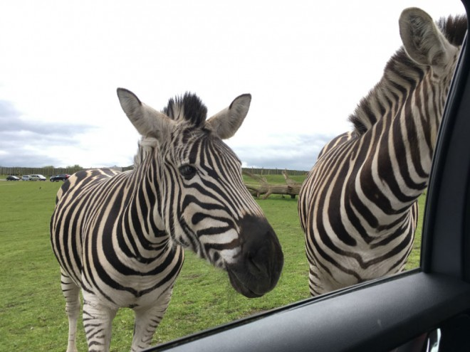 west midland safari park review, safari parks kids, zebra, feeding zebra
