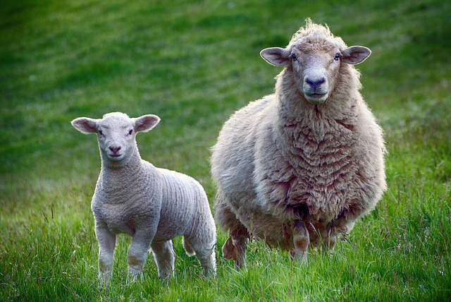 lambing days berkshire, where to feed lambs in berkshire, bottle feed lambs in berkshire